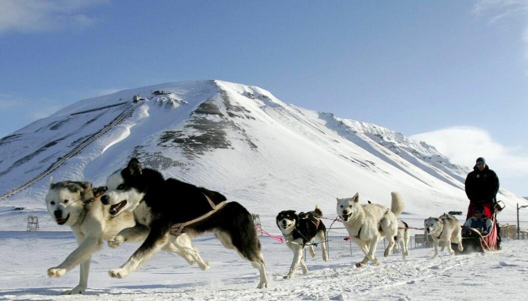 Hunder på Svalbard kan bære på parasitten som heter Revens dvergbendelorm. Den gjør ikke hundene syke, men hos mennesker kan parasitten faktisk skade indre organer. (Foto: Francois Lenoir / Reuters / NTB Scanpix)
