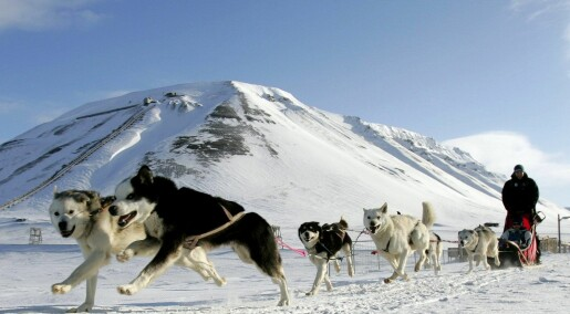Hunder på Svalbard kan bære på skummel parasitt
