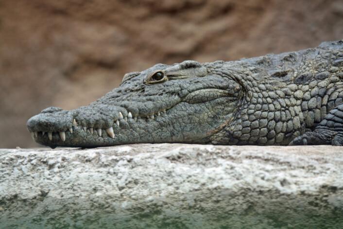 Tyrannosauren kan ha hatt noen av de samme egenskapene som moderne krokodiller. Denne krabaten er en Nilkrokodille. (Foto: Leigh Bedford/CC BY 2.0)