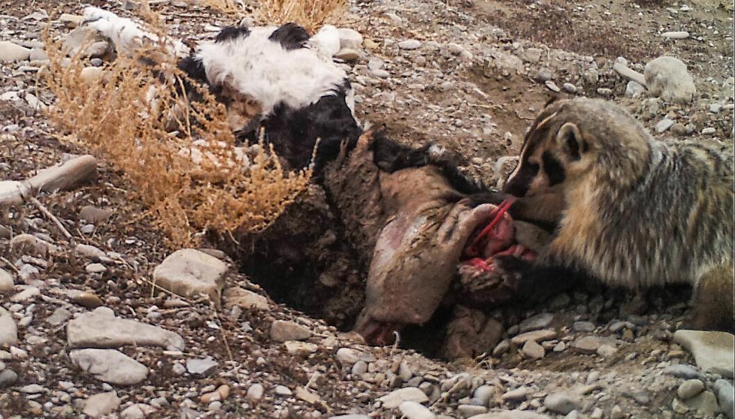 Grevlingen tar seg en smak midt i gravearbeidet. I løpet av fem dager fikk det lille dyret en over 20 kilo tung kalv til å forsvinne i bakken.  (Foto: Evan Buechley)