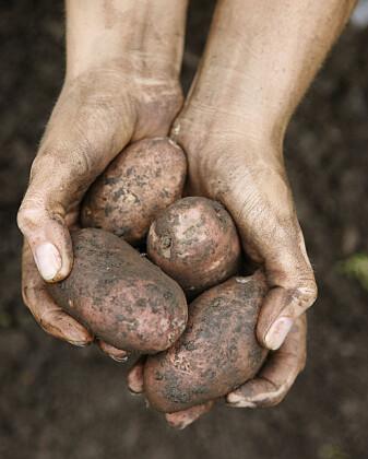 Poteten føles kanskje typisk norsk nå, men en gang var den innvandrer. Vi kalte den det vi syntes den lignet på; epler eller trøfler som vokste i jorda. (Foto: Berit Roald, NTB scanpix)