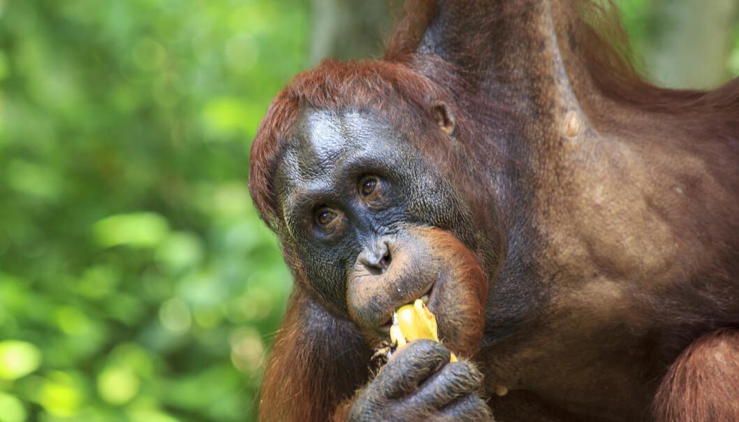 Fra banan til republikk. Var det frukten som banet veien for primatenes store hjerner? (Foto: Rich Carey, Shutterstock / NTB scanpix)