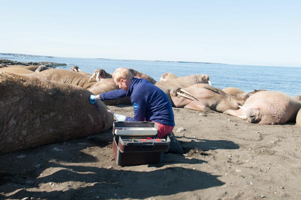 Alle de studerte hvalrossene i studien var voksne hanner og materialet ble samlet inn på Svalbard somrene 2014-2015. På dette bildet foretas blodprøvetaking av en hvalross. (Foto: Kit M. Kovacs, Norsk Polarinstitutt)