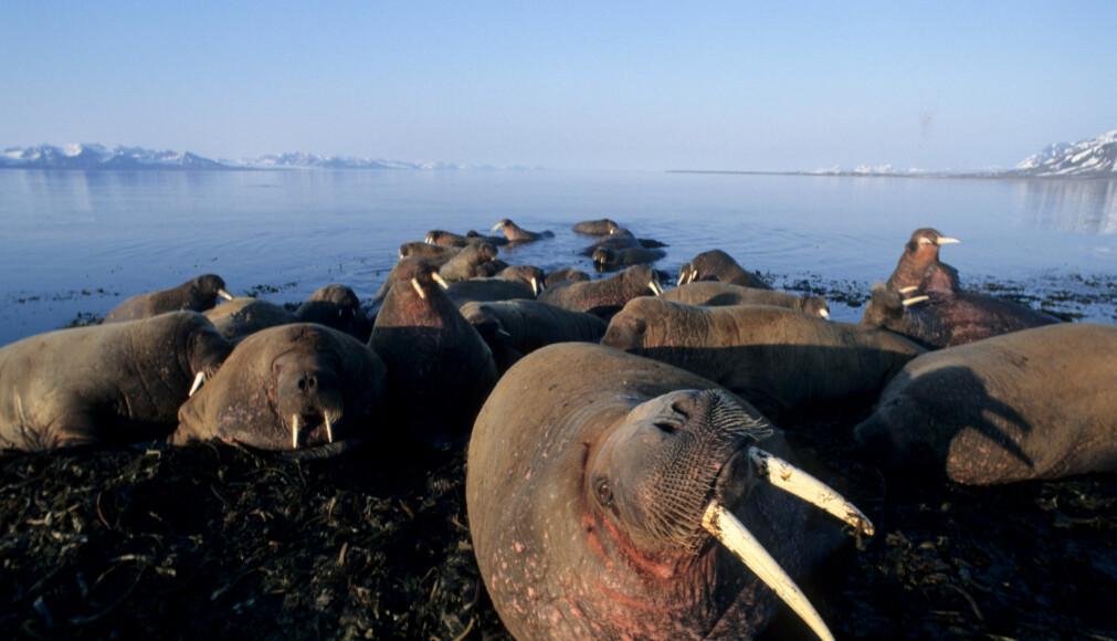 Hvalrossene spiser store mengder skjell og muslinger. (Foto: Tor Ivan Karlsen, Norsk Polarinstitutt)