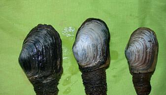 Sandmuslingen Mya truncata er populær føde for hvalross, som pløyer havbunnen med fjeset og bartene, før de suger bløtdyret rett ut av skallet. (Foto: Haakon Hop, Norsk Polarinstitutt)