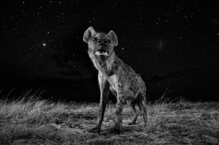 En hyene om natten i Liuwa Plain National Park i Zambia. (Foto: Will Burrard-Lucas, 2017 Sony World Photography Awards)
