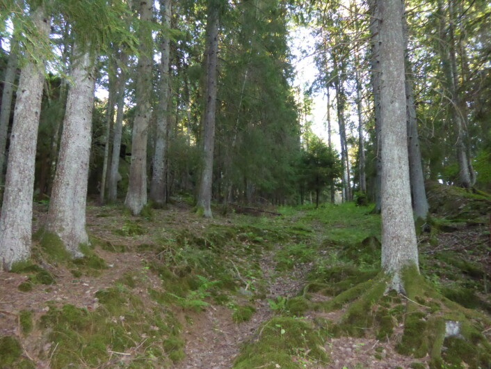 Skog som med NiN kan beskrives slik: bærlyngskogskog, 75-90% tresjiktsdekning, 100 % barskog, normalskog, eller kode: T4-C5, 1AG-A-0 7, 1AR_A 4B, 7SD-NS. Foto:HAU
