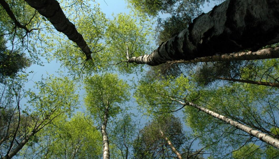 Skog tar opp i seg mer solenergi og varme enn for eksempel grasdekte områder eller kornåkre, men trærne transpirerer mer, og skaper mer turbulens i luften rundt seg, noe som gir større netto nedkjøling av omgivelsene.  (Foto Lars Sandved Dalen, NIBIO)