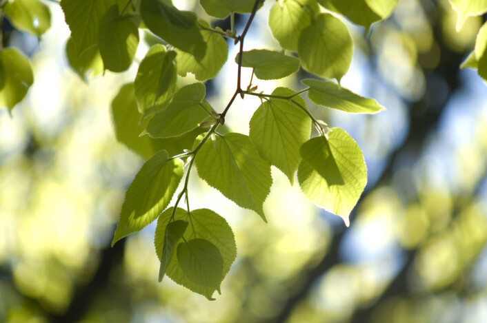 Skog bidrar med mer i klimasammenheng enn bare karbonfangst og tømmer. De kjøler også kloden ned. (Foto: Lars Sandved Dalen, NIBIO)