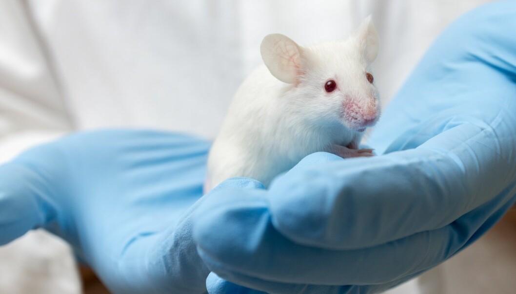 Stressede mus gir dårligere forskning