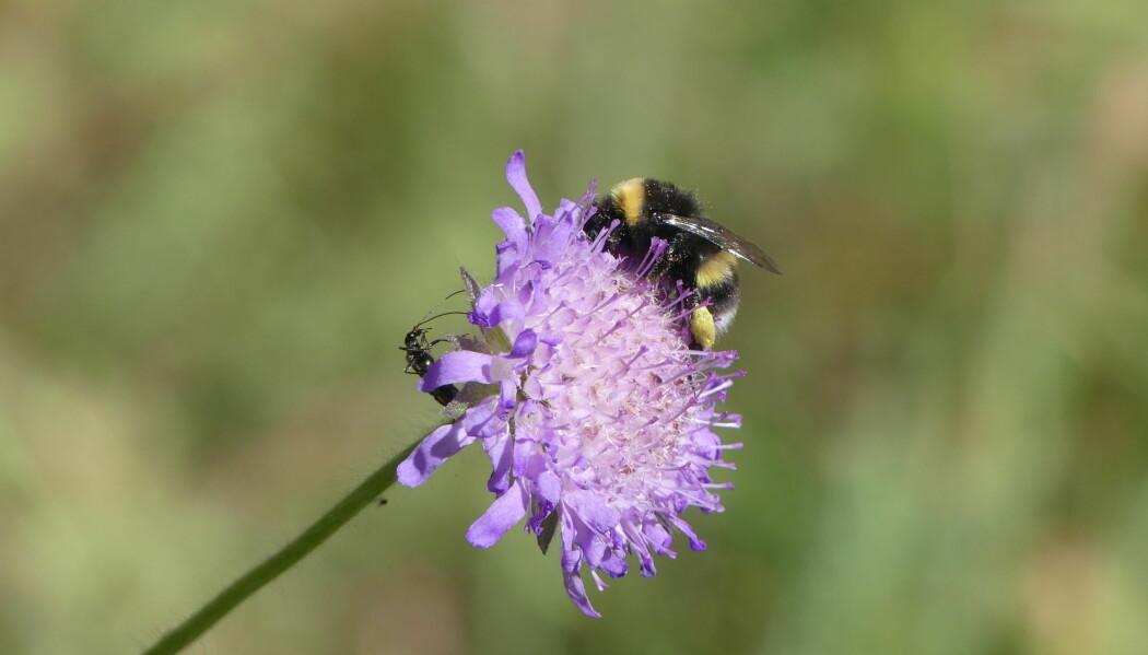 Humla trenger tilgang på blomster. Derfor skal forskere ved NIBIO undersøke hvordan de kan gjøre områder med mye gras til blomstrende områder hvor pollinernede insekter kan trives. (Foto: Ellen J. Svalheim)