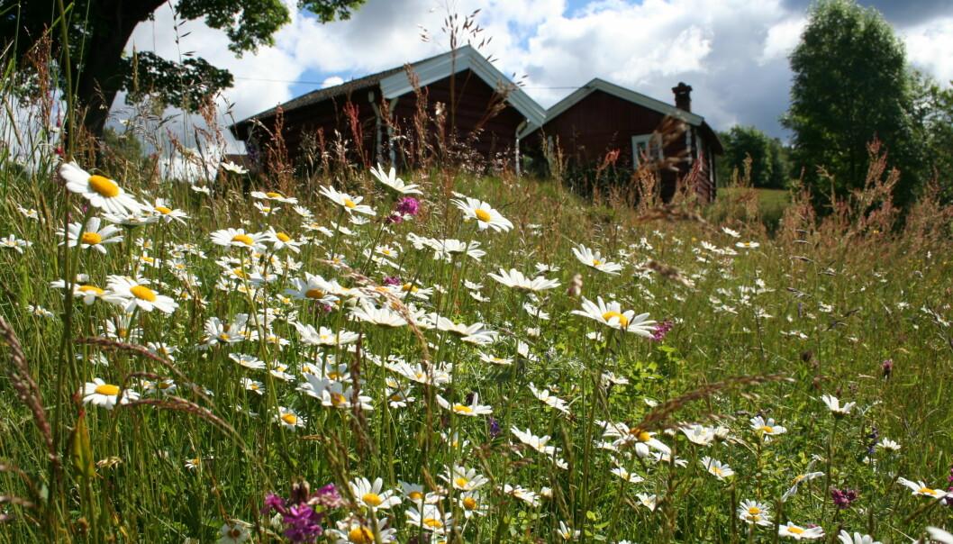 Prestekrage er ei viktig plante for mange insekter. Her er det rikelig av de sammen med engtjæreblom og fuglevikke i ei eng på Lyngjorda i Flesberg. (Foto: Ellen Svalheim).