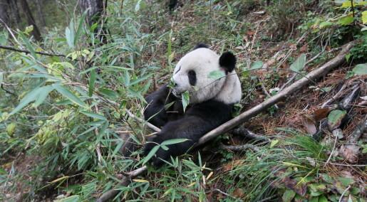 Pandaer har ikke alltid vært like bambusavhengige