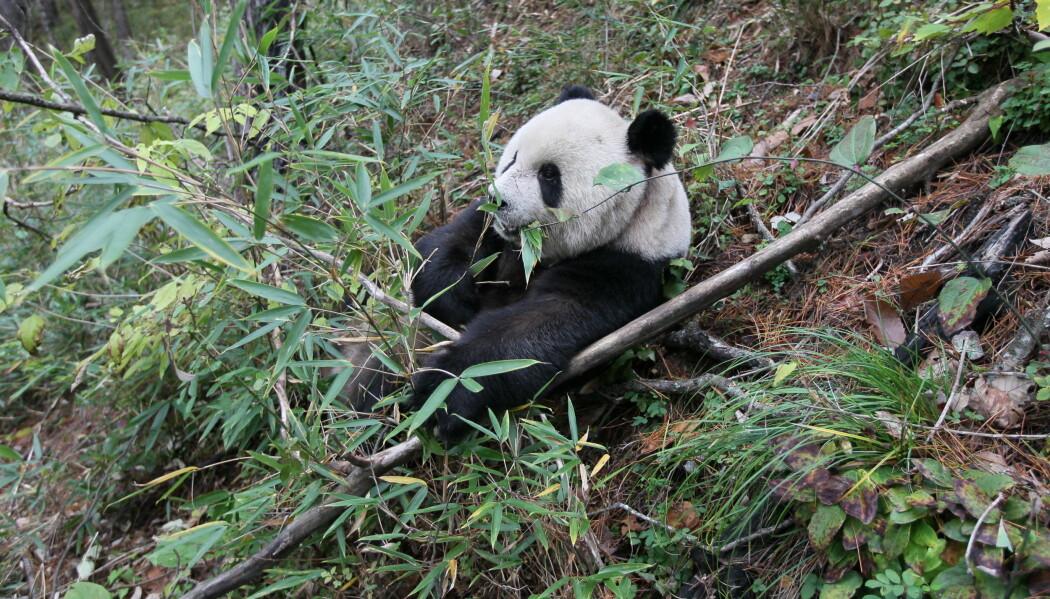 Nei, det går nå i bambus, da. En vill panda i Foping nasjonalpark i Kina. (Foto: Fuwen Wei)