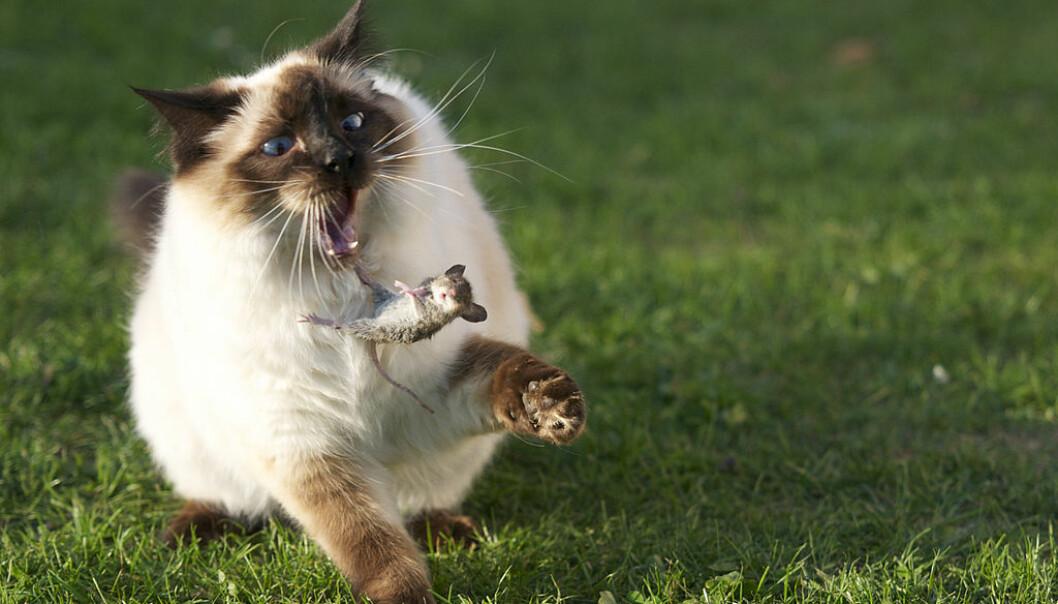 """Katten, musen og mennesket har levd sammen lenge. Men musen kom først, og hvor lenge siden var det? (Foto: Niels Hartvig/ <p><a href=""""https://creativecommons.org/licenses/by-sa/2.0/"""">CC BY SA 2.0</a>)"""
