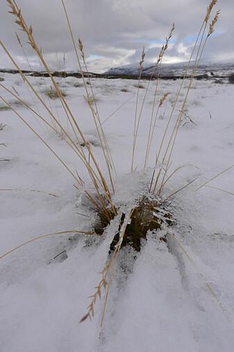Plantene i fjellet må overleve en lang og kald vinter. (Foto: Dagmar Hagen/NINA)
