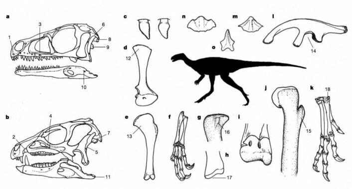 Anatomiske trekk felles for den nye gruppen, Ornithoscelida, som forener gruppens tidlige medlemmer blant rovdinosaurer og planteetere på tvers av den gamle modellens oppdeling. Det er en lang rekke anatomiske trekk, inkludert hjernekassen, bakbeina, anklene, hendene og kjevene. Silhuetten viser en potensiell forfar til alle dinosaurer – et 1–2 meter langt dyr som spiste både smådyr og planter, kunne løpe raskt omkring på bakbeina og samle opp mat med to gripehender. (Foto: (Illustrasjon: Nature/Baron et al.))
