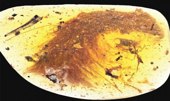 Med den nye studien gir fordelingen av fjær og hårlignede dun hos de ulike dinosaurgruppene nå plutselig bedre mening, mener den danske paleontologen Jesper Milàn. Denne fjæren stammer fra en dinosaur som levde for 99 millioner år siden og var på størrelse med en gråspurv. Det kan du lese mer om her. (Foto: Current Biology)