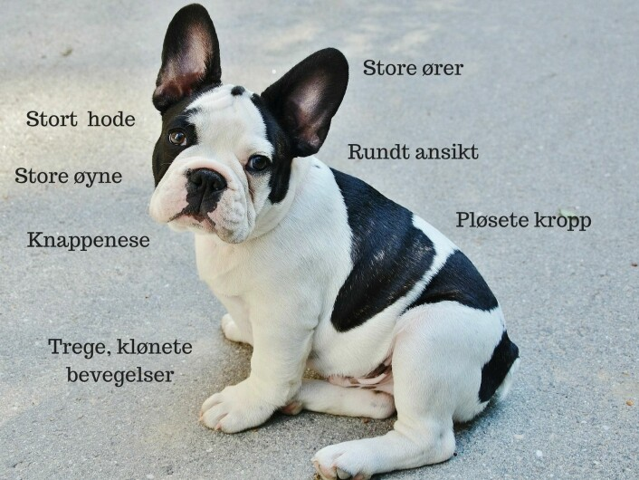 Fransk bulldog har mange av egenskapene vi anser som søte. Men dessverre sliter også denne rasen med helseproblemer som følge av at de er så søte. (Foto: GLady, CC0, via Pixabay)