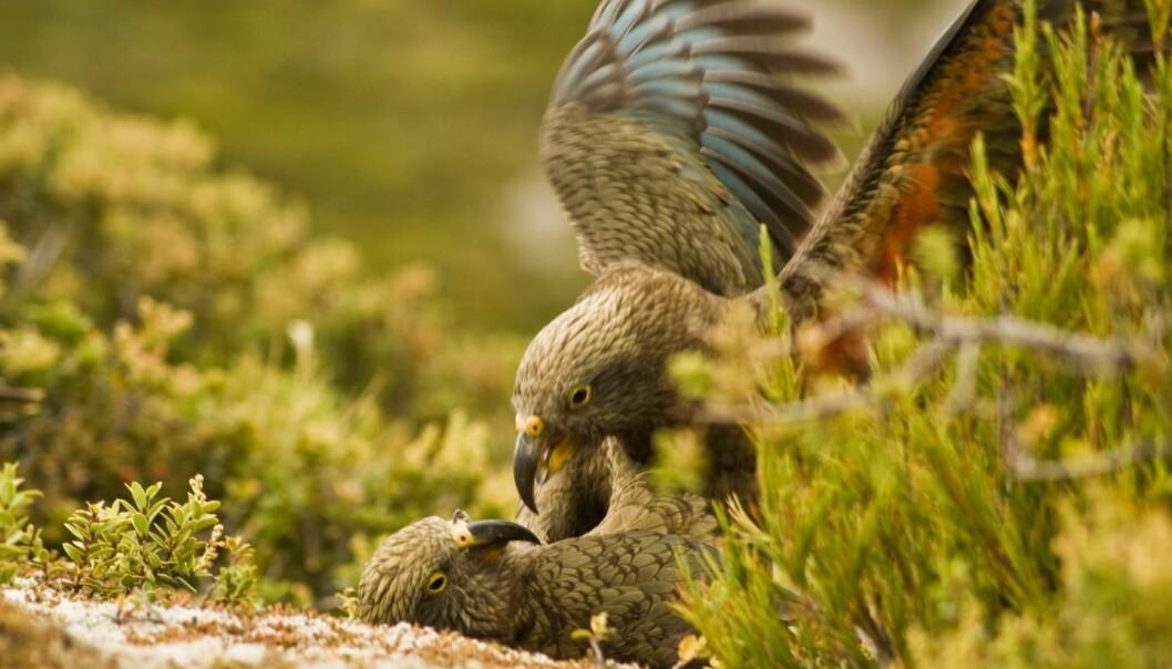 Kea-papegøyer på New Zealand blir lekne av å høre lekne artsfrender, viser forsøk der fuglene fikk høre opptak av kallelyder. Dette er første gang denne typen følelsesreaksjon er påvist hos andre dyr enn pattedyr, ifølge en studie i tidsskriftet Current Biology. (Foto: Raoul Schwing.)