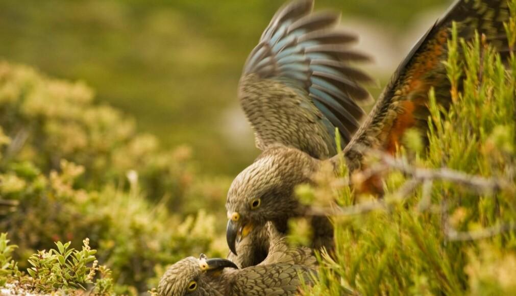 Papegøyer blir lekne av lekelyder