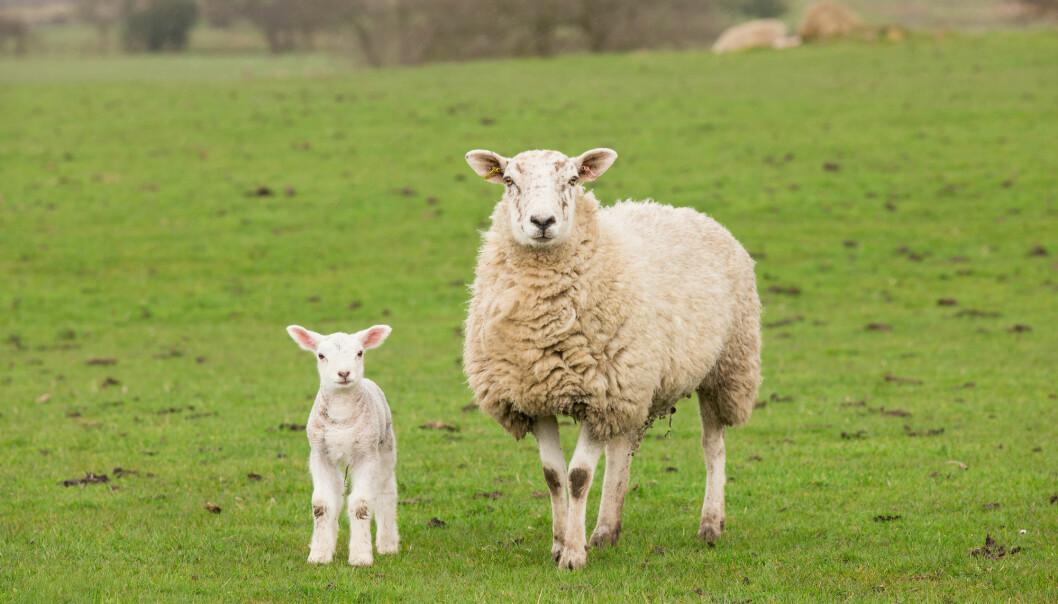 Sauer som ble utsatt for ujevn døgnrytme, fikk lam som var mer skrantne. De som var drektige med tvillinger fikk lengre «svangerskap».