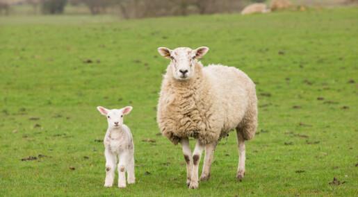 «Skiftarbeid» hos drektige sauer ga mindre lam
