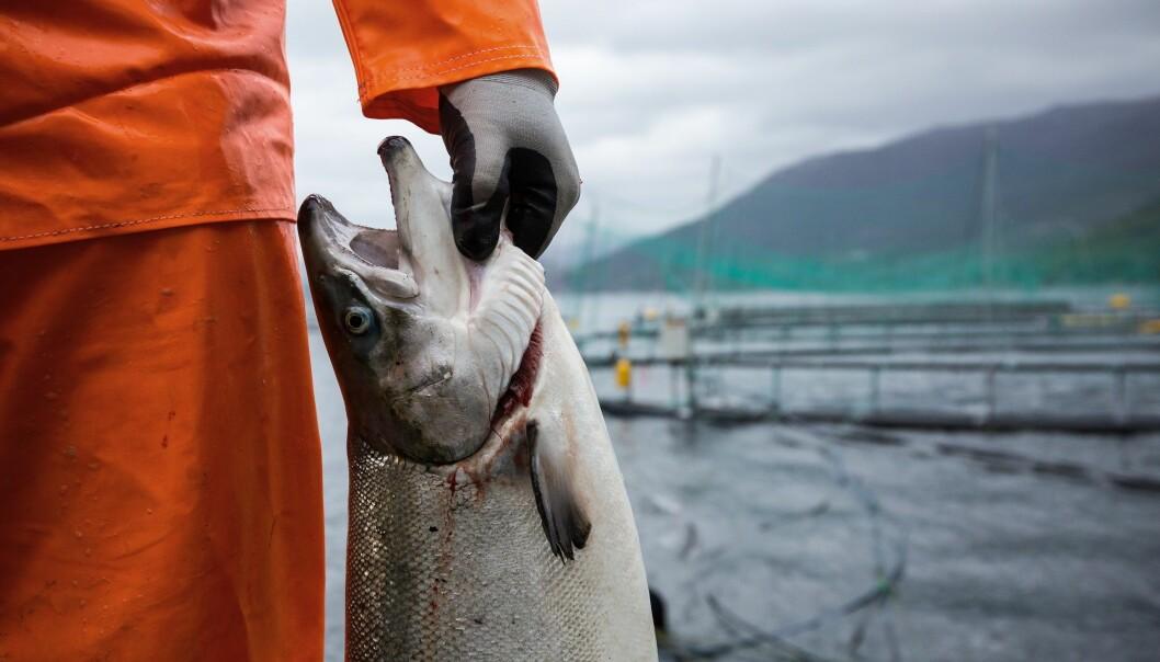 Norsk villaks har meir miljøgifter i seg enn oppdrettslaks. Det skyldes maten dei et, seier forskar. (Illustrasjonsfoto: Eivind Senneset/NIFES)