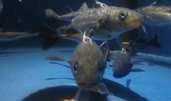 Mørket betyr ikke dvale for en av de viktigste fiskeartene i Arktis