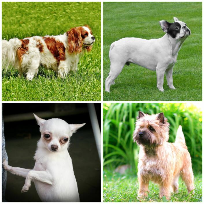 Rasene som var med i studien. Fra øverst til venstre: cavalier king charles spaniel, fransk bulldog, chihuahua og hunden som fungerte som en kontroll, cairn terrier. (Foto: De tre første bildene: CC0, via Pixabay. Bildet av cairn terrier: Solazar (eget verk), CC BY-SA 3.0, via Wikimedia Commons)
