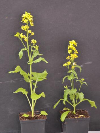 Planten til venstre er fra populasjonen som var blitt pollinert av humler i ni generasjoner. Den er betydelig høyere enn planten fra blomsterfluegruppa. (Foto: Gervasi/Schiestl)