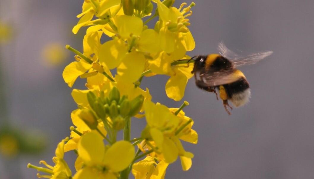 En humle besøker en blomstrende bondekål. Klumper med pollen sitter fast på bakbeina dens.  (Foto: Gervasi/Schiestl)
