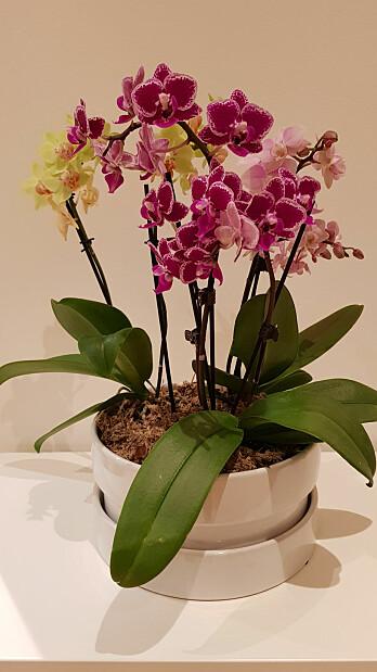 Flotte Phalaenopsis-orkidéer trenger hjelp av torvmoser for å takle knusktørre vintre innendørs i Trøndelag. (Foto: Kristine Bakke Westergaard)
