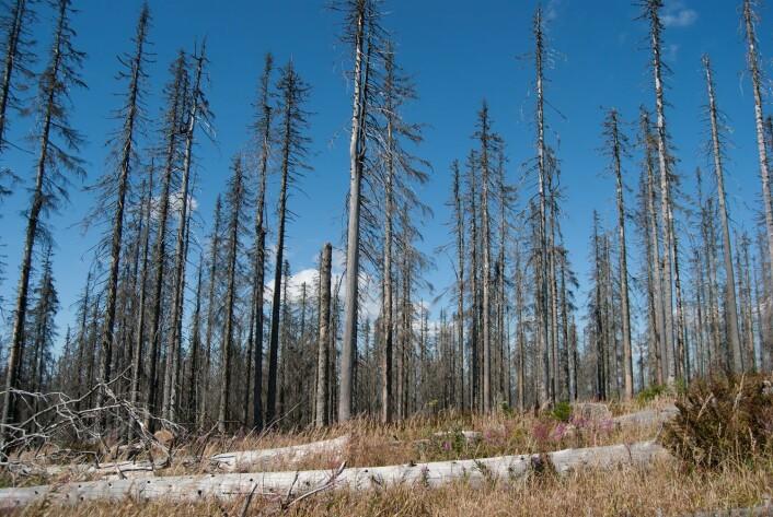 Men hvor ble det av skogsdøden? (Foto: Anticiclo, Shutterstock, NTB scanpix)