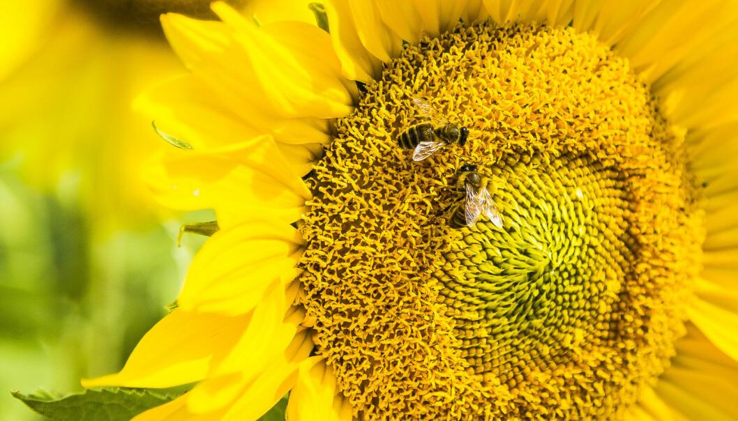 Solsikker fascinerer mange matematikere fordi frøenes plassering minner dem om såkalte Fibonacci-tall. Men det er nok ikke slike regnestykker disse biene holder på med. (Illustrasjonsfoto: RMIT University)