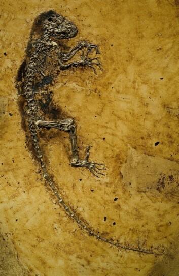 Ida - Darwinius masillae - fikk massiv oppmerksomhet da hun ble vist frem for verden i 2009. (Foto: Jørn Hurum / Naturhistorisk Museum)