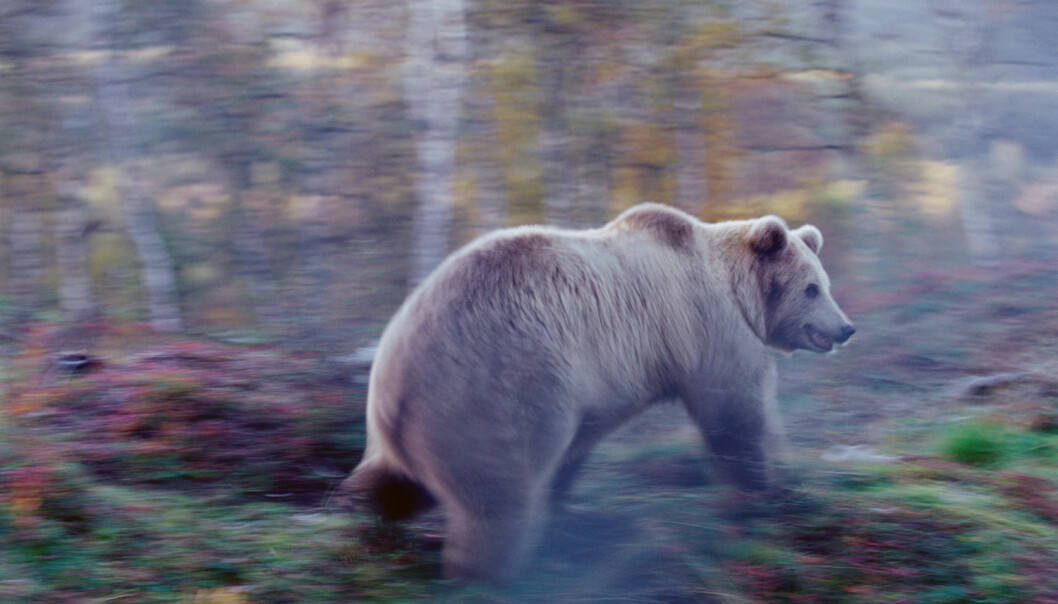 Bilveiene våre påvirker brunbjørnens vandringer. (Foto: Peter Lilja / AGE / Scanpix)
