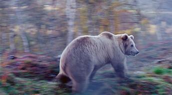 Skandinaviske bjørner blir fanget i veinettet vårt