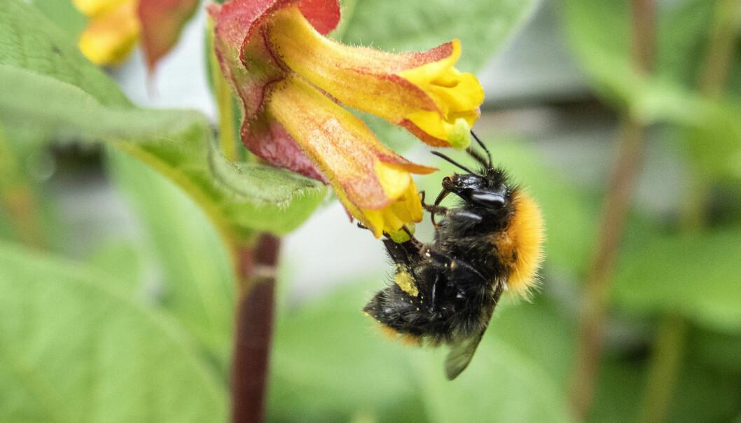 En humle i ferd med å bestøve en blomst. Svært mange planter er avhengige av insekter for å formere seg. (Foto: Gorm Kallestad / NTB scanpix)