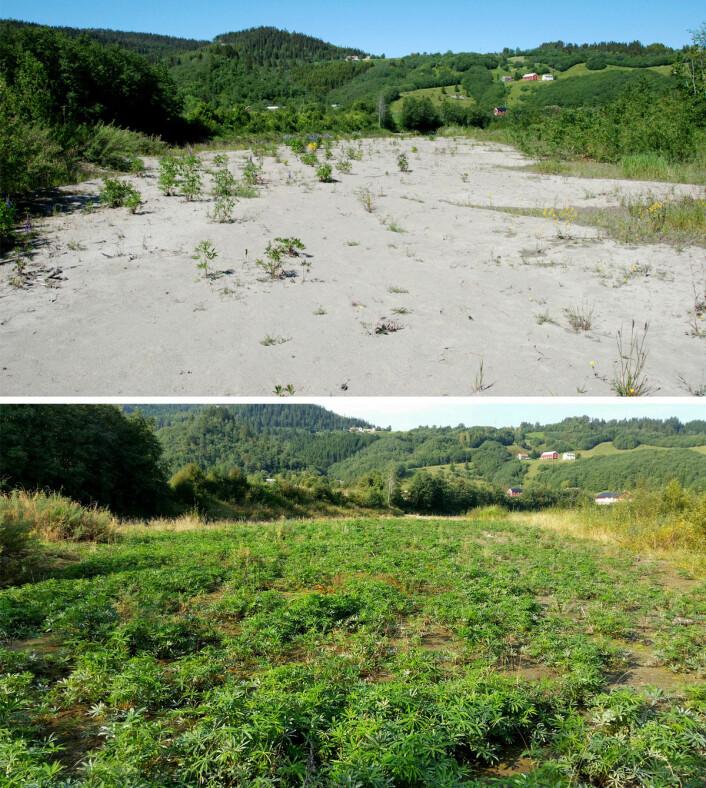 Svartelistearter truer rødlistearter: fremmedarten hagelupin (Lupinus polyphyllus), har de senere årene spredt seg i stort omfang på vassdragets bredder, som her på Kregnesøya.I løpet av et år har lupiner etablert seg på hele området. Det øverste bildet er tatt i juni 2015, det nederste i september 2016. (Foto: Oddvar Hanssen / NINA)