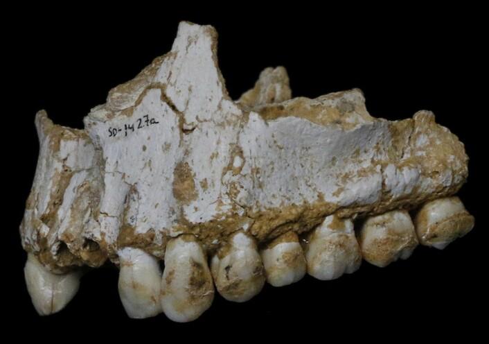En neandertaleroverkjeve fra El Sidrón i Spania med spor av både smertedempende popler og bakteriedrepende sopp. (Foto: Paleoanthropology Group MNCN-CSIC)