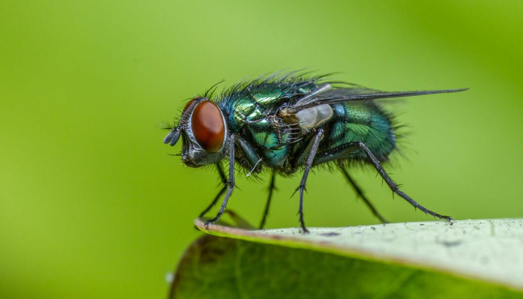 Spyfluer har en fantastisk luktesans. Innen seks timer etter at døden er inntruffet, har de funnet frem til liket og lagt egg i for eksempel øyne, nese, munn, skritt eller åpne sår.  (Foto: thatmacroguy / Shutterstock / NTB scanpix)