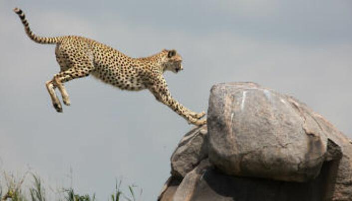 Serengeti har mange ulike rovdyr, som geparder. (Foto: Per Harald Olsen, NTNU)