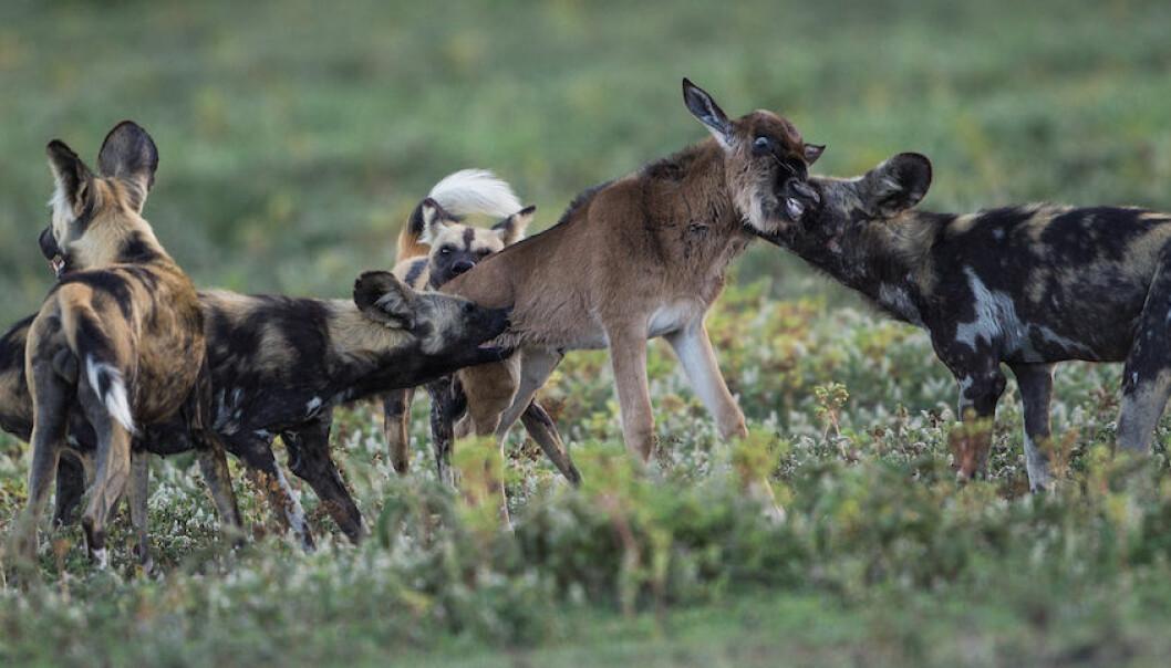 Hvorfor forsvart villhundene fra Serengeti, en nasjonalpark rik på føde? Bildet viser villhunder som har tatt en gnu-kalv. (Foto: Per Harald Olsen, NTNU)
