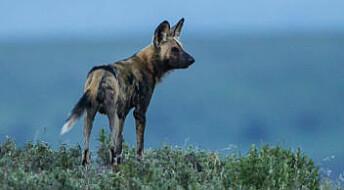 Mysteriet med villhundene som forsvant