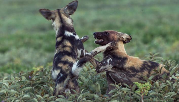Villhunder er ikke ville familiekjæledyr, men en helt egen art. (Foto: Per Harald Olsen, NTNU)