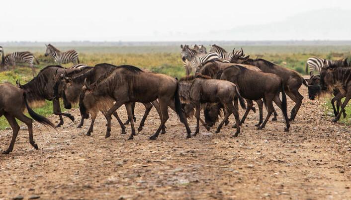 Gnu og sebra i Serengeti i Tanzania. (Foto: Per Harald Olsen, NTNU)