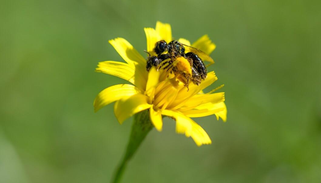 Hva disse to villbiene (<i>Panurgus calcaratus</i>) holder på med, skal ikke jeg legge meg borti, men det er tydelig at de pollenbefengte kroppene deres bidrar til å befrukte blomster. Foto: Arnstein Staverløkk