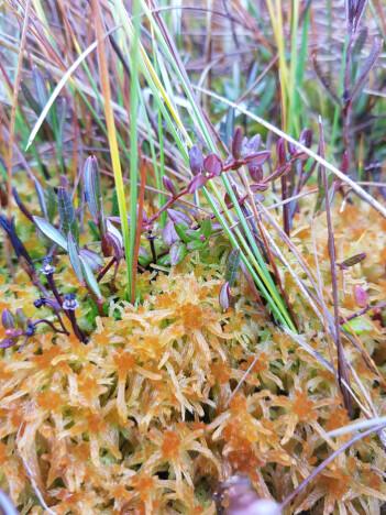 Trøndertorvmoser <i>Sphagnum troendelagicum</i> er en hybrid art som bare finnes i (Nord-)Trøndelag. Den har trekk fra begge sine foreldre. (Foto: Magni Olsen Kyrkjeeide)