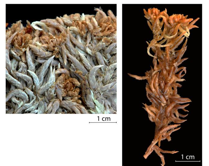 Torvmosen <i>Sphagnum × lydiae</i> ble første gang funnet på Tsjukotka i Russland i 1970, og senere på Wrangeløya i 1985. Det eksisterer ikke bilde av arten ute i naturen, dermed må individene samlet inn til herbariet duge. Foto: Kjell Ivar Flatberg